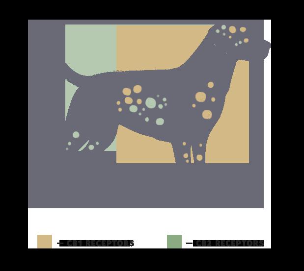 Dog's endocannabinoid system