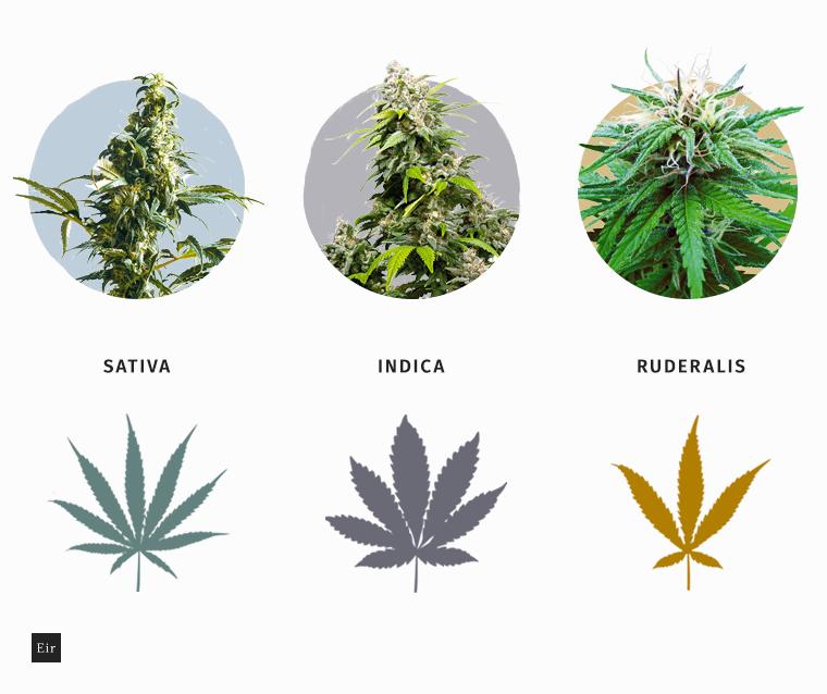 Tre ceppi diversi di pianta di cannabis, Sativa, Indica e Ruderalis