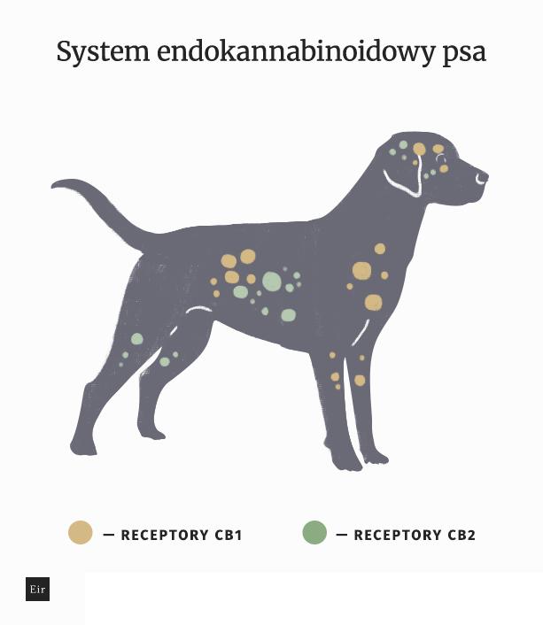 Schemat systemu endokannabinoidowego psa