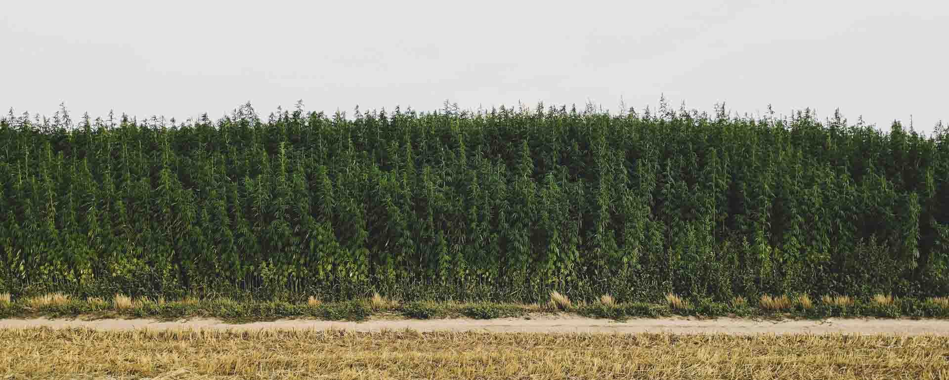 Is growing hemp for CBD legal in Ireland?